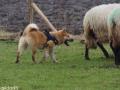 s IJslandse Hond Kappi Schapendrijven 2016-12-17 (2)