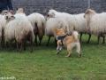 s IJslandse Hond Kappi Schapendrijven 2016-12-17 (23)