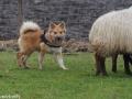 s IJslandse Hond Kappi Schapendrijven 2016-12-17 (3)