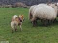s IJslandse Hond Kappi Schapendrijven 2016-12-17 (7)