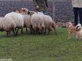 s IJslandse Hond Lotta Schapendrijven 2016-12-17 (1)