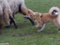 s IJslandse Hond Lotta Schapendrijven 2016-12-17 (12)