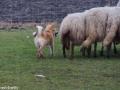 s IJslandse Hond Lotta Schapendrijven 2016-12-17 (13)