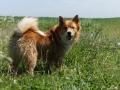 Foto IJslandse Hond 026 reu