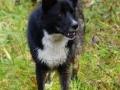 Foto IJslandse Hond 019 reu