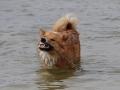 Foto IJslandse Hond 023 reu