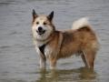 Foto IJslandse Hond 017 reu