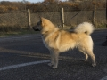 Foto IJslandse Hond 011 reu