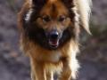 Foto IJslandse Hond 005 reu