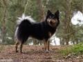 Foto IJslandse Hond 007 teef