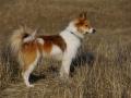 Foto IJslandse Hond 008 teef