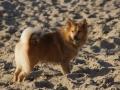 Foto IJslandse Hond 013 reu