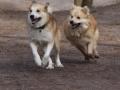 Foto IJslandse Hond 001 reu
