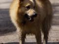 Foto IJslandse Hond 021 reu