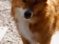 Foto IJslandse Hond 025 reu