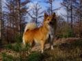 Foto IJslandse Hond 012 teef