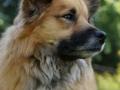 Foto IJslandse Hond 022 teef