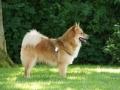 Foto IJslandse Hond 006 reu