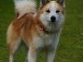 Foto IJslandse Hond 018 reu