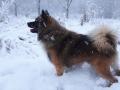 IJslandse Hond Vík 15 maanden oud