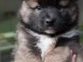 IJslandse Hond Vík 7 weken oud