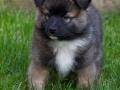 IJslandse Hond Vík 8 weken oud