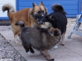 IJslandse Hond Vík 9 weken oud