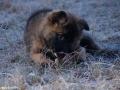 IJslandse Hond Vík 3 maanden oud