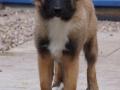 IJslandse Hond Vík 4 maanden oud