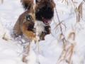 IJslandse Hond Vík 20 weken oud