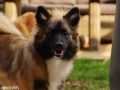 IJslandse Hond Vík 6 maanden oud
