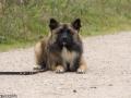 IJslandse Hond Vík 8,5 maanden oud