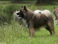 IJslandse Hond Vík 10 maanden oud