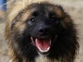IJslandse Hond Vík (bijna) 1 jaar oud