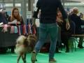 IJslandse Hond Vík 13 maanden oud