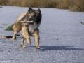 IJslandse Hond Vík 17 maanden oud