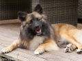 s IJslandse Hond Vík 20 maanden oud 05