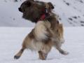 s IJslandse Honden 01