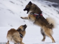 s IJslandse Honden 02