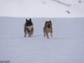 s IJslandse Honden 03