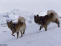s IJslandse Honden 04