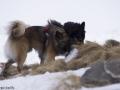 s IJslandse Honden 05