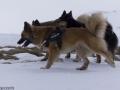 s IJslandse Honden 06