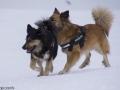s IJslandse Honden 07