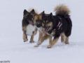 s IJslandse Honden 08