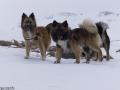 s IJslandse Honden 09