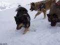 s IJslandse Honden 10