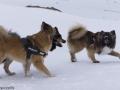 s IJslandse Honden 11