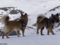 s IJslandse Honden 12