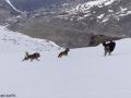 s IJslandse Honden 13